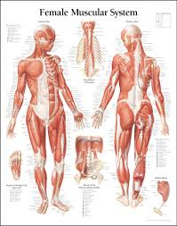 Women Muscle Diagram A Great Female Anatomy Reference For