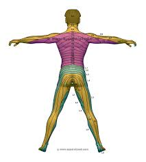 Posterior Dermatome Chart Body Chart Body Map Physical