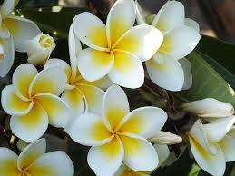 plumeria red jasmine white flower tropical plants