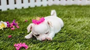 4k cute puppy wallpaper
