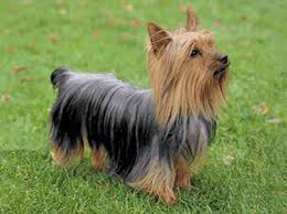 silky dog. silky terrier - dog pictures a