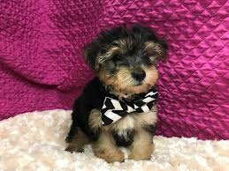 yorkiepoo puppies who found loving homes