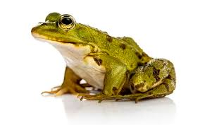 image of a frog. Contemporary Frog SMALL FROG To Image Of A Frog