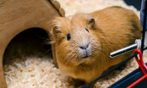 do guinea pigs recognize their owners