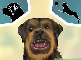 rottweiler dog mean. this means they can be quite dominant, and even aggressive on occasion. rottweilers are intelligent active dogs rottweiler dog mean