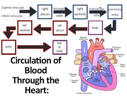 Cardiovascular System Anatomy And Physiology Cardiac