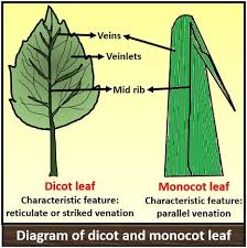Difference Between Dicot And Monocot Leaf With Comparison