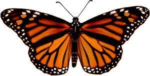 big pictures of butterflies. Unique Butterflies Female Monarch Butterfly With Big Pictures Of Butterflies