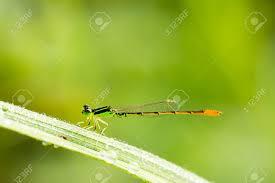 grass blade close up. Close Up Of Small Blue Dragonfly On Grass-blade Stock Photo - 31276465 Grass Blade