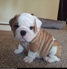 really cute english bulldog puppies. Interesting Really Bulldog Puppy Micro  Visit Our Poster Store Rover99com Throughout Really Cute English Puppies P