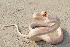 White Snakes Wallpapers - Top Free ...