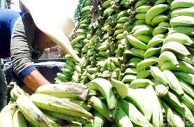 Resultado de imagen para quintales de plátano