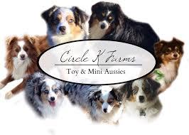 teacup australian shepherd aussie puppies circle k farms toy breeders tea cup a tiny