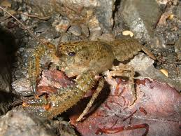 Crayfish Wikipedia