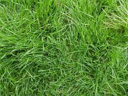 Lolium perenne – Perennial Ryegrass | Other Grasses | Species ...