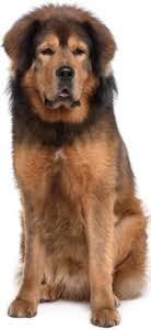 Best Dog Food For Tibetan Mastiffs 2019 Top Picks Pawdiet