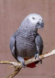 44 African Grey Parrot Facts (Complete Guide) Talkative Congo Grey Parrot -  Storyteller Travel