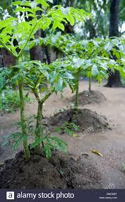 Kitchen Garden In India Yam Plants Species In The Genus Dioscorea Family Dioscoreaceae In