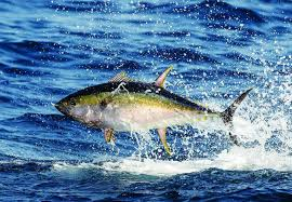 Tuna Fish Size Chart Different Types Of Tuna Species Of Tuna Sport Fishing