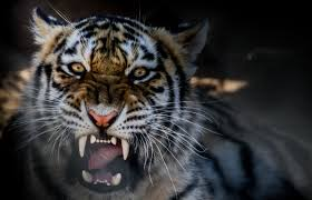 white tiger growling. Plain White Intended White Tiger Growling I