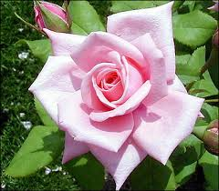 Image result for pictures of roses