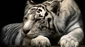 tiger wallpaper high resolution. Exellent Resolution Tiger Wallpapers On Wallpaper High Resolution R
