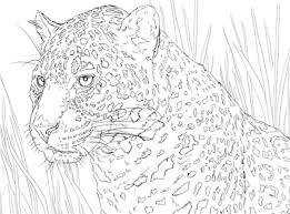 * * * * jaguar coloring page. Jaguars Coloring Pages Coloring Page To Print