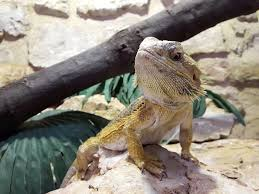 what kind of lighting does a bearded dragon need