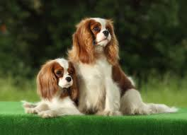 small dog breeds pictures