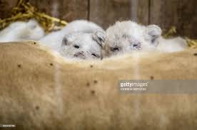 newborn white lion cubs. Simple Newborn FRANCEZOOANIMALSBIRTHWHITELION  News Photo With Newborn White Lion Cubs