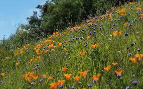 poppies bloom on mount diablo photo by joan hamilton