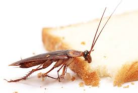 Реферат Паразиты класса насекомые ru Банк рефератов  Реферат Паразиты класса насекомые ru Банк рефератов сочинений докладов курсовых и дипломных работ таракан это насекомое паразит