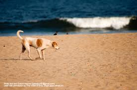dog essay writing the voice of stray dogs stray dogs in n cities a  the voice of stray dogs stray dogs in n cities a photo marina beach chennai reduce stress essay
