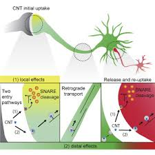 tetanus toxin interneuronal transfer and distal action of tetanus toxin and
