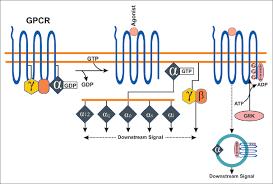 Gpcr Signaling G Protein Coupled Receptor Signaling In Cardiovascular