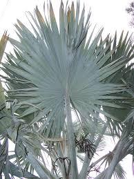 fan palm. fan palm wikipedia