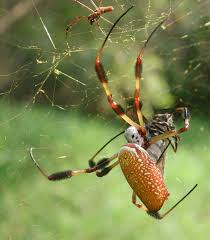 How To Make A Giant Spider Web Golden Silk Orb Weaver Wikipedia