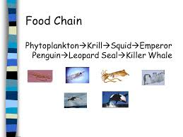emperor penguin food chain. Unique Emperor 5 Food Chain Phytoplankton  Krill Squid Emperor Penguin Leopard Seal  Killer Whale To