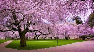 Bunga Sakura Keindahan Bunga Sakura Mekar Di Kebun Raya Cibodas