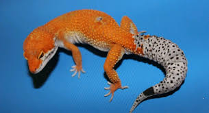 Leopard Gecko Morph Chart Leopard Gecko Morphs And Color Variations Care Guides For