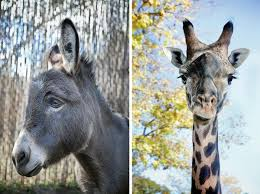 Image of: Neck Image The New York Times Zoo Animals And Their Discontents The New York Times