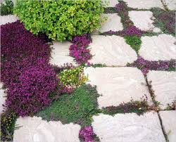 planting between pavers using ground covers around pavers dummer gfinger gfinger는 가장 전문적인 원예 app입니다