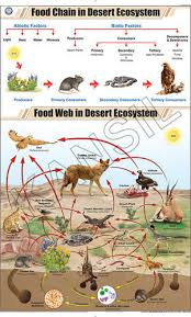 Food Chain In Desert Ecosystem For General Chart
