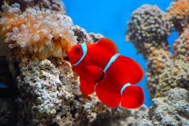 black and yellow clown fish. Modren Black Maroon Clownfish And Black Yellow Clown Fish