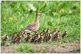 Mallard Ducklings Nesting Ducks The Rspb