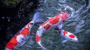 Live Koi Fish Wallpapers - Top Free ...
