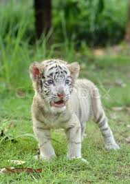 baby white tiger. Contemporary Tiger On Baby White Tiger N