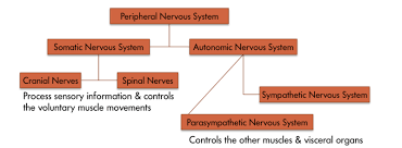 Flow Chart Of Nervous System In Human Beings The Brain And Nervous System Noba