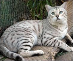 white bengal cat. Brilliant Cat And White Bengal Cat E