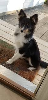adorable sheltie shetland sheepdog sheltie sheltiesundays abundantlifedreams shetlandsheepdog puppy puppies